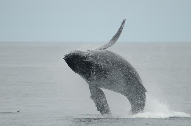 *Humpback Whale- Megaptera novaeangliae (Balaenopteridae)