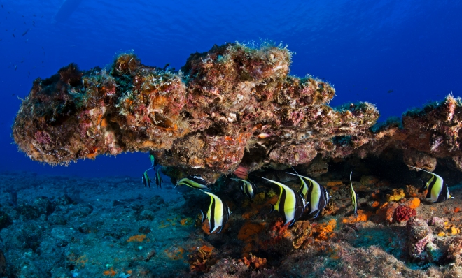 Moorish Idol (Zanclus cornutus), Cabo Pulmo National Park, Sea of Cortez (Gulf of California), Mexico, November