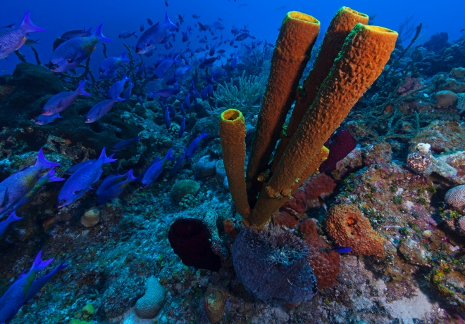 Creole Wrasse (Clepticus parrae) and Yellow Tube Sponge (Aplysina fistularis), Guanahacabibes Peninsula National Park, Pinar del Rio Province, western Cuba, September