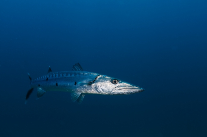 Great Barracuda (Sphyraena barracuda), Guanahacabibes Peninsula National Park, Pinar del Rio Province, western Cuba, September