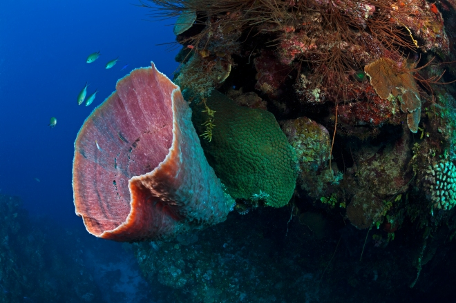 Brown Bowl Sponge (Cribochalina vasculum), Guanahacabibes Peninsula National Park, Pinar del Rio Province, western Cuba, September