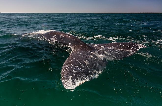 Grey Whale (Eschrichtius robustus) tail, San Ignacio Lagoon, El Vizcaino Biosphere Reserve, Baja California, Mexico, February