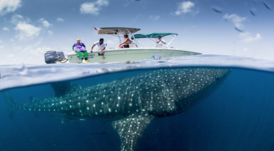 Responsible Whale Shark Tourism in Mexico - Wildcoast